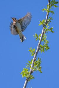 Bay-breasted Warbler, Paruline à poitrine baie