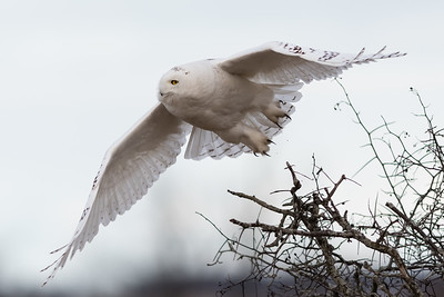 Snowy owl Harfang des neiges Bubo scandiacus