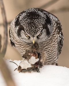 Chouette épervière, Surnia ulula, Northern Hawk-Owl