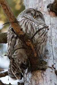 Barred Owl, Hibou barré (Strix varia)