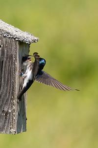 Tree Swallow - Hirondelle bicolore- Tachycineta bicolor