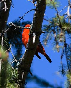 Scarlet Tanager, Piranga écarlate