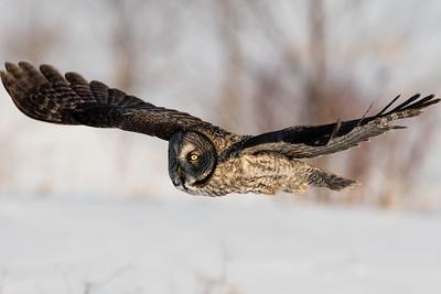 Great grey owl - Chouette lapone - (Strix nebulosa)