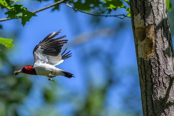 Red-headed Woodpecker Pic à tête rouge Carpintero cabecirrojo