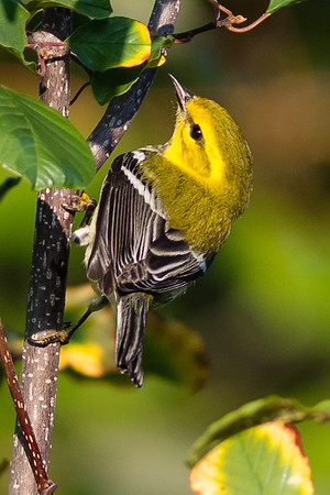 Blackthroated; Green; Warbler