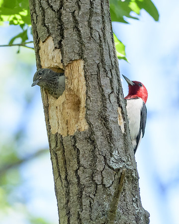 Red-headed Woodpecker Pic à tête rouge Carpintero cabecirrojo