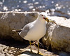 Ring-billed Gull - Catch of the day