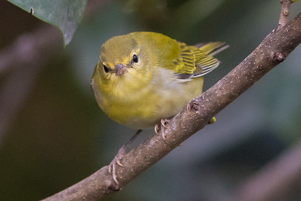 Tennessee Warbler - fall plumage