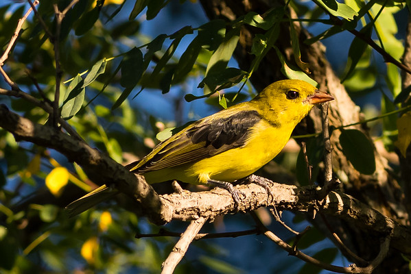 Scarlet Tanager - female