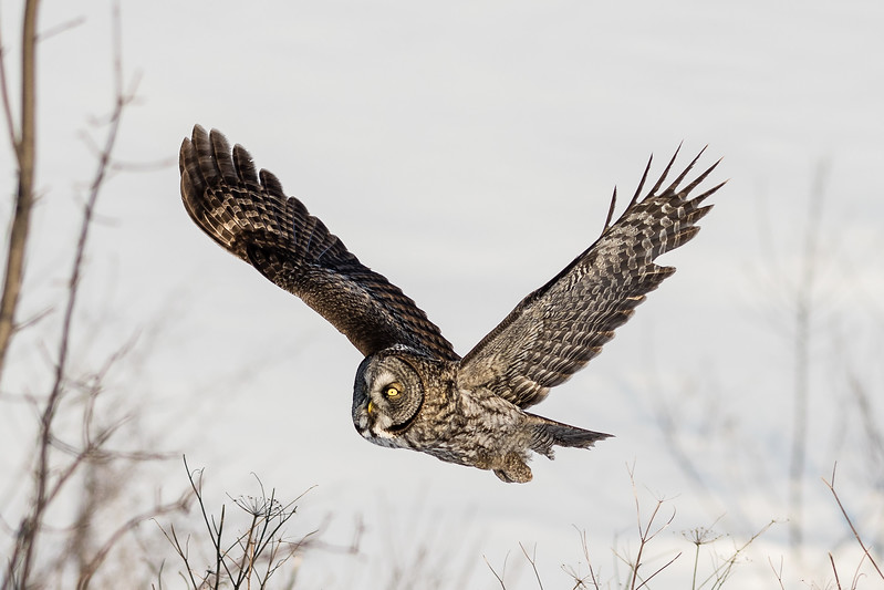 Great Gray Owl - Chouette lapone - (Strix nebulosa)