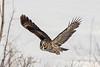 Great Gray Owl - Chouette lapone - (Strix nebulosa)