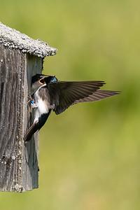 Tree Swallow - Hirondelle bicolore - Tachycineta bicolor