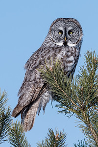 Great grey owl - Chouette lapone - (Strix nebulosa)