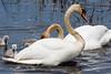 Mute Swan feeding Signet's