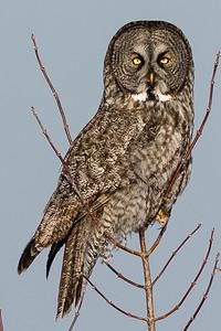 Great gray owl, Chouette lapone, Strix nebulosa