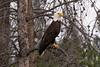 Bald Eagle - Logan Lake