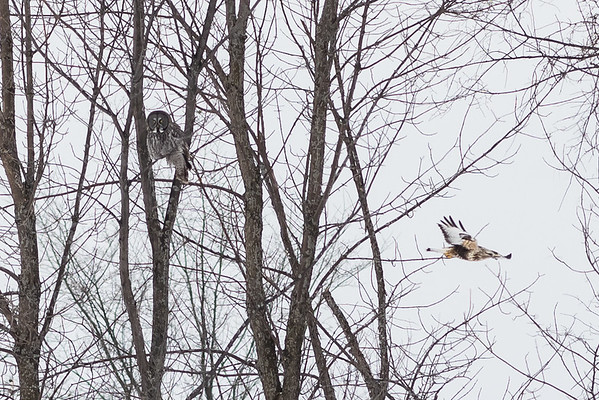 Rough legged hawk putting run on Great Grey Owl