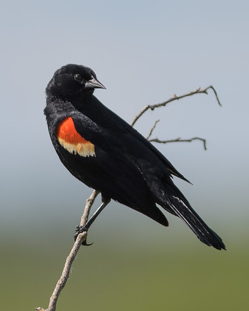Red-winged Blackbird, Carouge à épaulettes, Sargento alirrojo