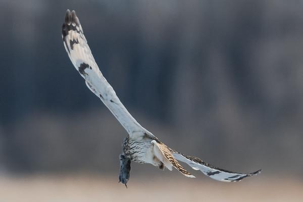 Short eared owl, Hibou des marais, Asio flammeus - Kingston area