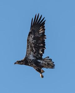 Bald eagle, Pygargue à tête blanche, Haliaeetus leucocephalus