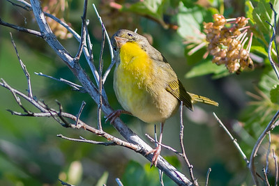 Yellow throat Warbler