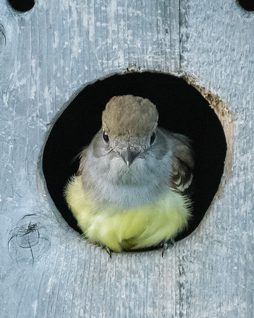 Great Crested Flycatcher, Tyran huppé, Copetón viajero