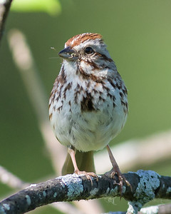 Song Sparrow Bruant chanteur Chingolo cantor