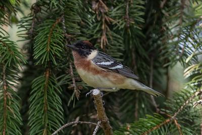 Bay-breasted warbler - Setophaga castanea - Paruline à poitrine baie