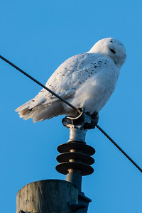 Snowy owl, Harfang des neiges, (Bubo scandiacus)