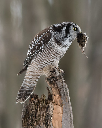 Chouette épervière: Surnia ulula; Northern Hawk-Owl