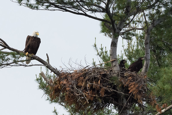 Bald Eagle watching over it's Eaglets