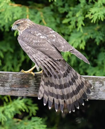 Cooper's Hawk, Épervier de Cooper, Gavilán de Cooper, Accipiter cooperii