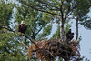 Bald Eagle - who is watching who