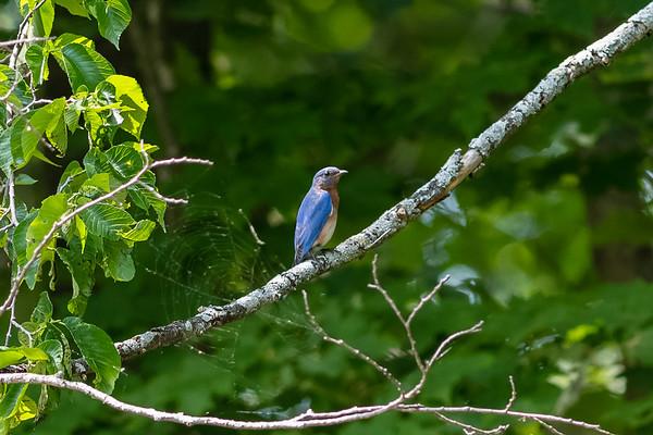 Eastern bluebird - Merlebleu de l'Est - Sialia sialis