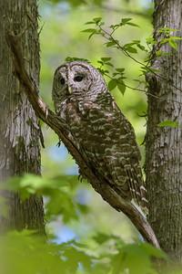 Barred Owl, Chouette rayée