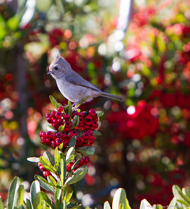 Titmouse and Pyracantha.