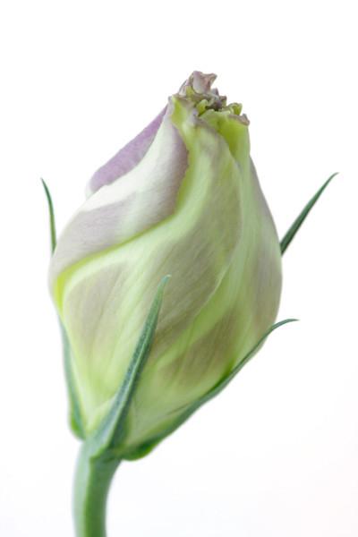 Lisianthus Bud