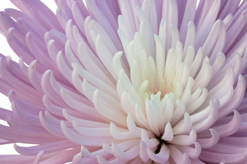 Lilac Chrysanthemum 2