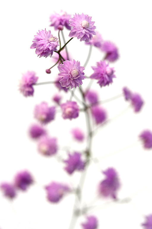 Meadow Rue 2
