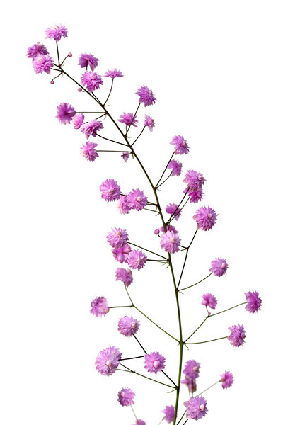 Meadow Rue 1