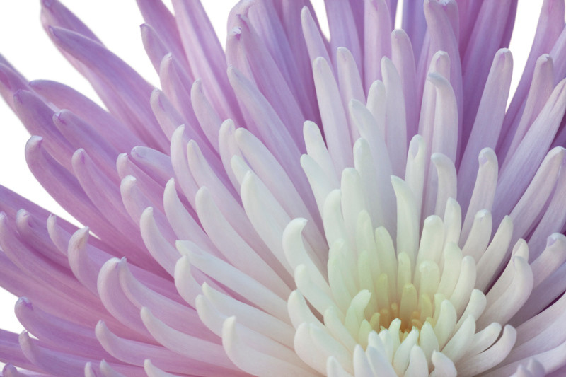 Lilac Chrysanthemum 3