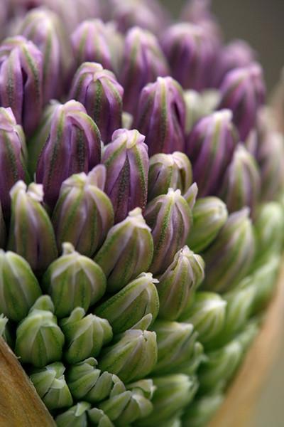 Allium Bud