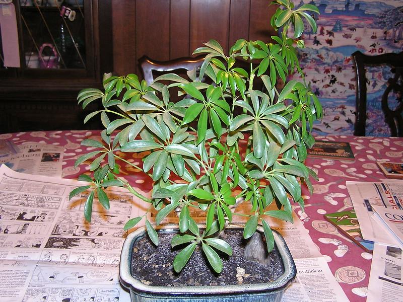 bonsai 2-10-04 001