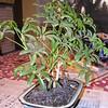 bonsai 2-10-04 002