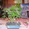 bonsai 2-10-04 004