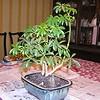 bonsai 2-10-04 003