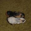 baby pigs 001