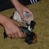 baby pigs 002