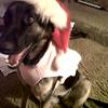 Kenya Santa Dog
