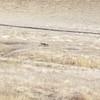 Coyote at Black Diamond